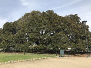 """Morton Bay Fig Tree"" - seit 1867 in Santa Barbara."