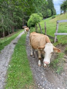 Kuh-Begleitung während der Wanderung bei 28 Grad.