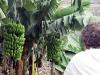 Gomera 2011 - Hermigua, Bananenstauden